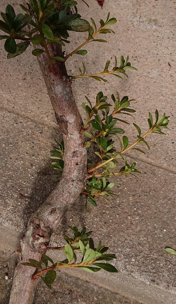 この新芽を挿し木するのに 適した土は?