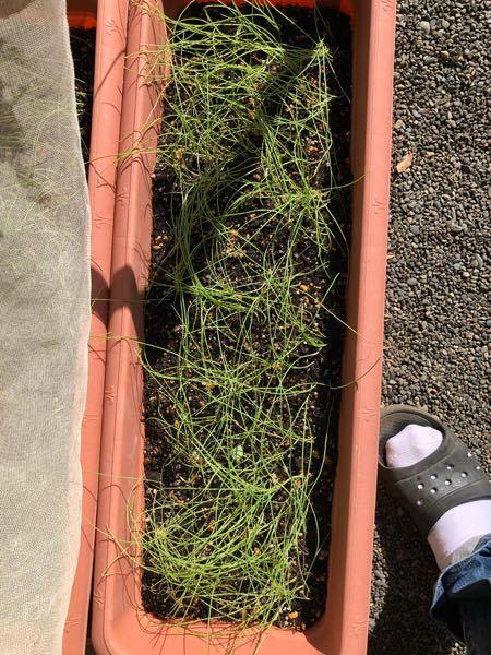 プランターに玉ねぎの種をまいて1ヵ月半ぐらい経過しますが、順調に育っているように見えますが太くなっていきません。定植できる4mm位の太さにするにはどうしたら良いのでしょうか? 教えてください。 よろしくお願いします。