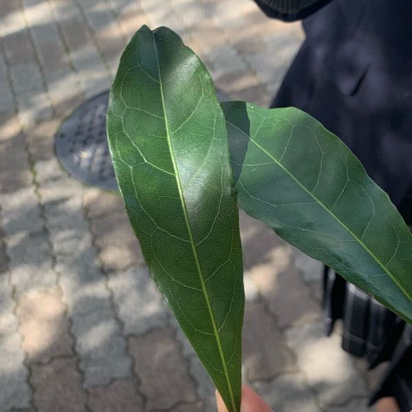 この葉の名前はなんですか