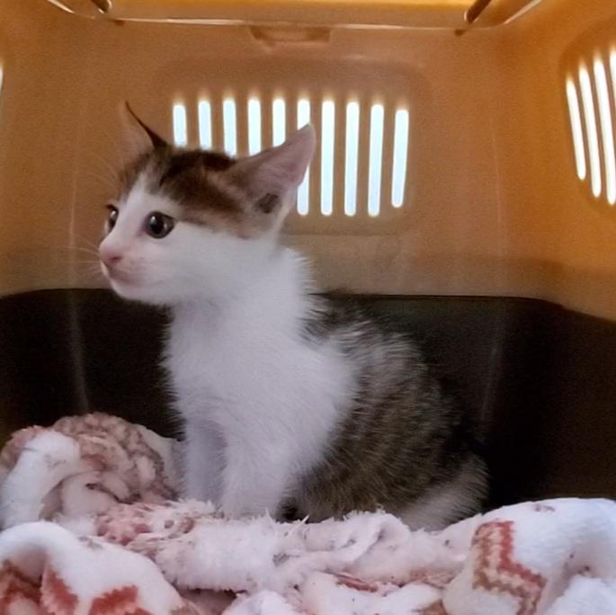 草むらで怪我をしている子猫を保護しました。病院にいき、元気になりました。 飼いたいのですが、夫婦で暮らしており、妻があまり賛成ではありません。 どうやって説得すれば、、 隣人に借りた小さな猫ケースを借りていれているのですが、外にでたがっています。 とりあえず餌と簡易的なトイレは猫ケース内でできています。 その他私が提案してもだめです、、外に返すのは切なすぎます。 外(部屋内)にだしてあげたい →部屋が汚れるのでダメ とりあえずゲージを買いたい →飼うわけでもないのでダメ 湯タンポを入れて温めてあげたい →爪でひっかくと危ないからやめて 猫にとって幸せなのが何かわからなくなりそうで。幸い親猫が近くにいるので返す方が幸せなのかわからず相談させて頂きました。