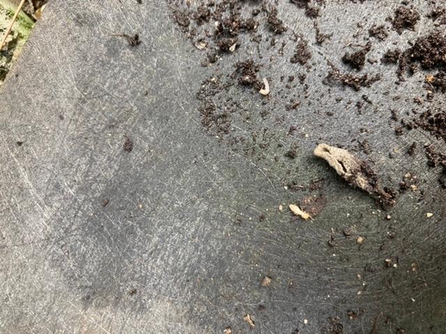 この虫はなんでしょうか? 枯れたセージの木の植木鉢の下に大量にいました。