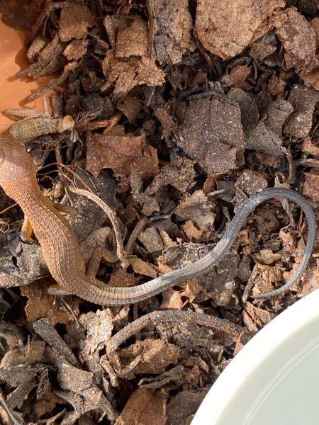 カナヘビについて教えて下さい。 飼育中のカナヘビの尻尾が初めに比べて黒っぽくなってきました。胴体に比べると黒さがよく分かります。 黒くなってきているのは何か病気の可能性があるのでしょうか??気にしなくていいものでしょうか?? 又、尻尾の一部に白っぽくなってる箇所が2箇所あります。 この白いのは脱皮前の合図でしょうか??