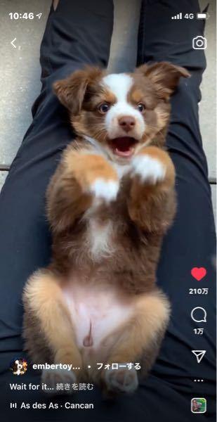 このわんちゃんの犬種を教えて欲しいです https://www.instagram.com/reel/CUxfG9pAOhW/?utm_medium=copy_link