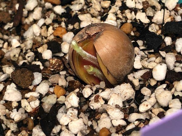 どんぐりの発芽についてです 写真のように2本出てきたのですがこれが通常ですか? それとも土の中で枝分かれしているとかでしょうか? 回答よろしくお願い致します