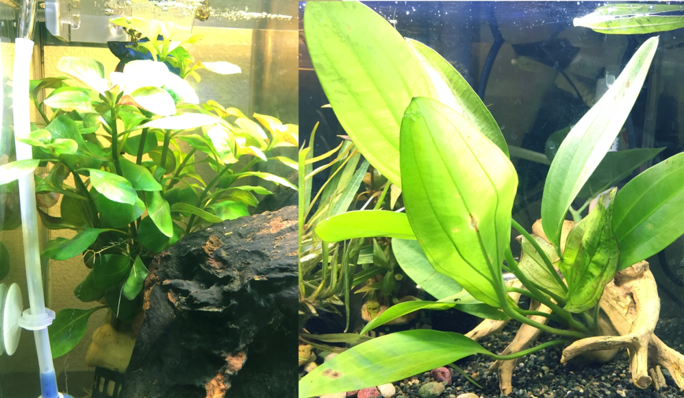 水草のトリミングについて教えてください 初めてちゃんとした水草を買って入れてみたのですが、水槽のサイズと合ってなくて困っています。 【左】の水草はもうすぐ水面から飛び出そうです。魚はいたく気にってくれたようでいつもここに居ます。地元のイベントで買った際に水草の名前を聞き忘れてしまってトリミング方法など検索できず困っています。単純にハサミで上の方を切る感じでもいいのでしょうか。 【右】の水草は完全に大きすぎて縦に置くと3分の1くらい飛び出してしまいます。 仕方ないので横に置いて突っ込んでいるのですが、これはもうトリミングしようがないですよね…? 水草を育てている方アドバイス頂けると助かります!あと名前が分かれば嬉しいです。
