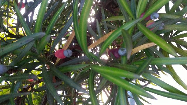 近所の公園に咲いてたんですけど、このカラフルな実はなんですか?黄青赤