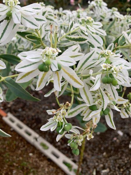 こちらの植物?の名前は何という名前なんでしょうか? 実家で勝手に咲いてたらしいんですが 経由としては鳥のフンですかね ? 宜しくお願いします!