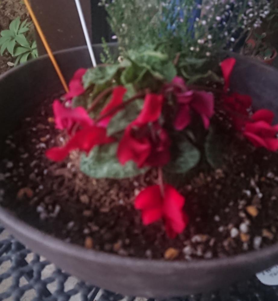 ガーデンシクラメンがうまくいきません。 毎年植えるのですが いつもダメにしてしまいます。 今回も植えたのですがしおれてきてしまいました。 植えるときはポットから出して いじらないで、植えて、根元まで土を入れないようにしてます。 植えつけてから水は与えてません。 今日しおれたので水をあたえました。