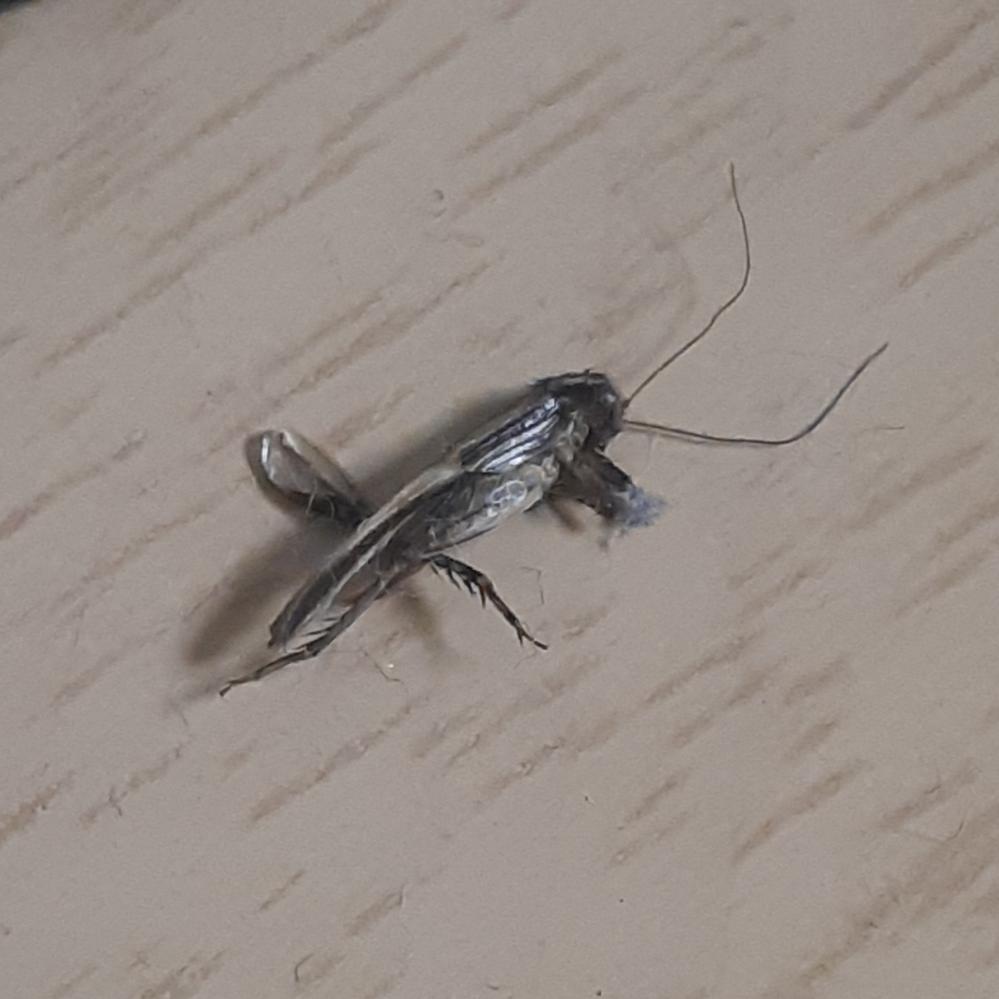 パソコンを使おうと思ってマウスを動かしたらいつの間にか下にいたみたいで死んでいたのですが、これはなんという虫ですか?1cmくらいだと思います。 見たことがないと思うのですが、家にいてはいけない虫でしょうか? もしくは子供の虫だから見覚えがないだけでよく知った虫なのでしょうか? 最初ごみか虫かわからなくて触ってしまいました・・・。