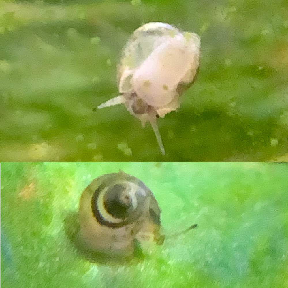 これはスネールですか? ヒメタニシとその他魚やエビを育てている水槽に突然稚貝のようなものが出てきました 動きはそれなりに速く、ヒメタニシの殻や顔に似ているようにも見えます 現在外から確認できるだけで2匹いました スネールは卵児生でヒメタニシは胎児性らしいのですが、卵は見た事がありません ヒメタニシの場合、このまま放置していても育ってくれますか? 45cm規格水槽 アカヒレ、ゴールデンアカヒレ、赤コリ、白コリ、ミナミヌマエビ、ヒメタニシを飼育 ヒメタニシはオスメス両方いるみたいです コケもそれなりに多く生えています