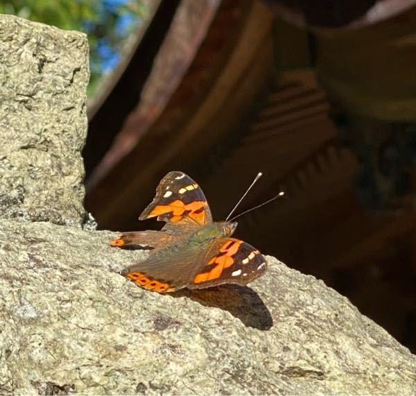 この虫の名前を教えてください。 よろしくお願いいたします。