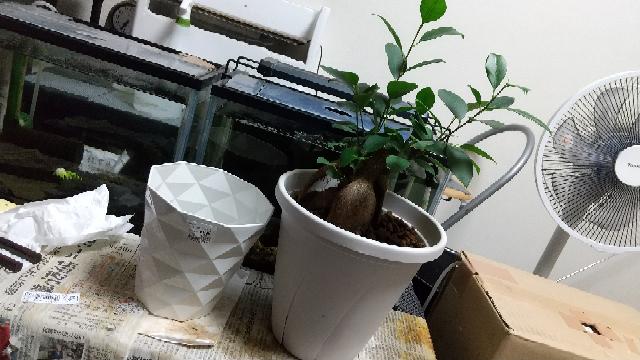 ガジュマルを左の鉢から右の鉢に植え替えました。5号2.5㍑から7号3㍑へ植え替えです。サイズ的に大きい、ジャストサイズ、小さい、どう感じますか?植え替え前、植え替え後共に鉢底石は使っておらず、右...
