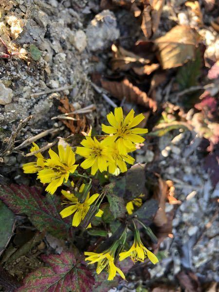 これニガナですよね?何ニガナでしょうか? 植物に詳しい方教えてください。 普通のニガナとも、ミヤマイワニガナとも葉の形や色が違う気がしますが、お花はニガナに見えます。 撮影地は三重県の鈴鹿山脈の鎌ヶ岳です。