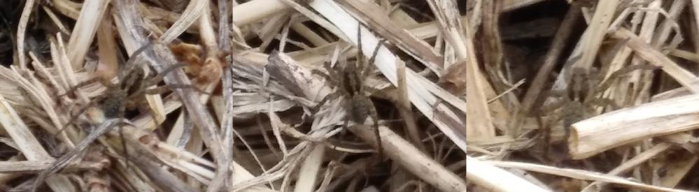 畑にいたこの蜘蛛の名前を教えてください 前足から後ろ足まで10mmほど 畑にある枯れ草の山の上にいた 素早く走る徘徊性の蜘蛛