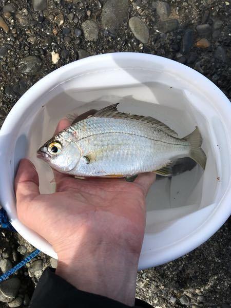 この魚はなんですか? 焼津港付近で釣れました。