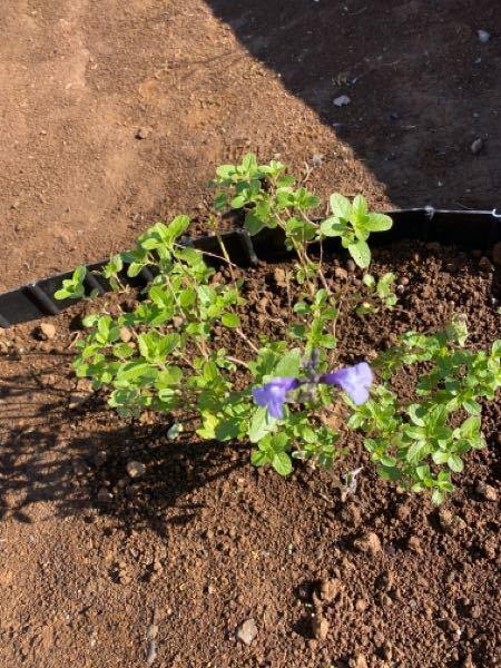 この花の名前を教えてください。 園芸店で苗を購入し玄関先の花壇に植えていました。小さい紫のかわいい花が散らかり剪定がてら花を切り落としてから花がなかなか咲きません。剪定してしまい後悔しています。名前がわからないので調べられるずにいます。もう、花は咲かないのでしょうか?