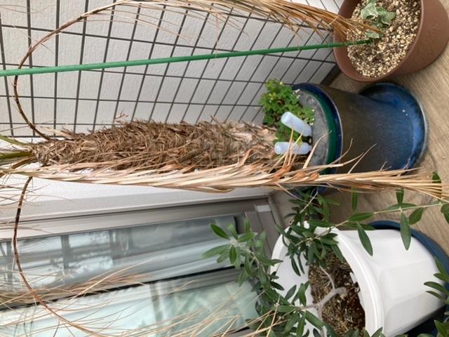 フェニックス・ロベリニーという植物の葉が枯れてきてしまいました。 関東ベランダにて育てております。 秋冬はこんなものなのでしょうか?