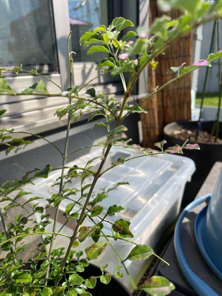 シマトネリコの葉っぱが上から見ると黒茶、横から見るとピンクっぽくなってるんですが、どの様な病気または対策が必要でしょうか?