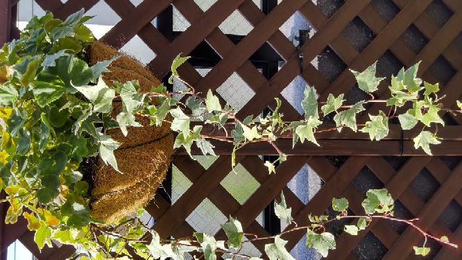 札幌在住です。ゼラニウムと寄せ植えにしたアイビーが何鉢かあるのですが、アイビーをどのように越冬させたら良いでしょうか? ネットで調べましたが、地植えが良いのは分かりましたが、そうなるとすでに手遅れのようなので困っています。