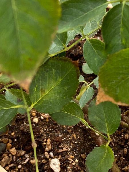 バラ(ガブリエル)の葉先がどんどん茶色くなってきているのですが、原因は何でしょうか?水切れはさせたことないです。最低気温が5〜6℃の日が増えてきたので、気温のせいでしょうか?分かる方よろしくお願いします 。