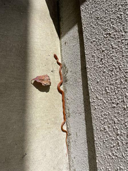この蛇の種類が分かる方いらっしゃいますでしょうか? 体長30センチ程です。 猫が持って帰って来ました。 無毒でしょうか…