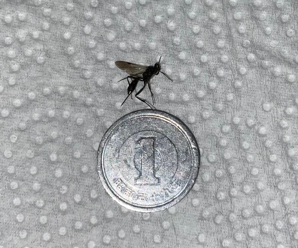 部屋の中で体長10~15mm程の黒いハチのような虫を捕まえ、ネットで少し調べてみたのですが自分ではハッキリと断定できませんでした。 気になって仕方がないので、わかる方がいらっしゃれば教えていただけないでしょうか?