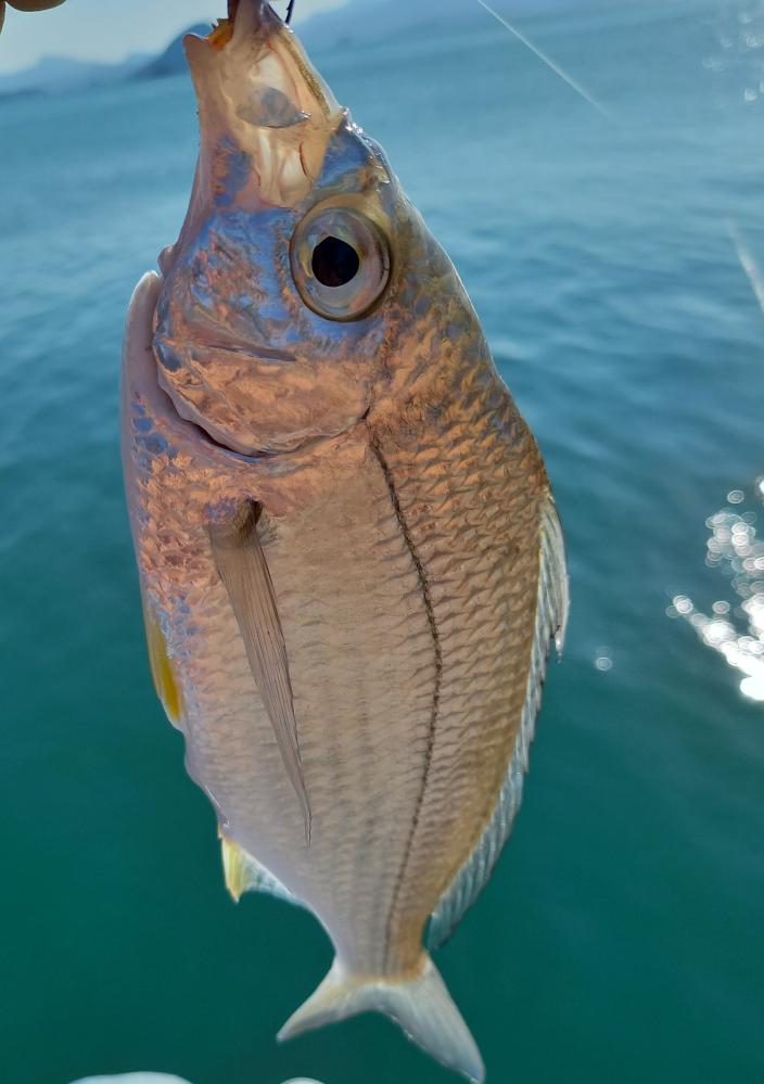 釣り この魚はウミタナゴで合ってますでしょうか?