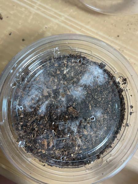 ニジイロクワガタ幼虫管理用のプリンカップに入れていた土に変なのが出てました 完熟マットとキノコマットの混ぜです 月野夜キノコ園さんのです この白いのは何なのか また問題ないのか教えてください。