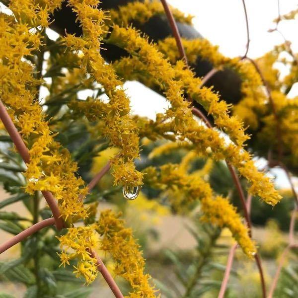 きのう、尼崎市内で咲いていた花です。 なんという植物でしょうか?