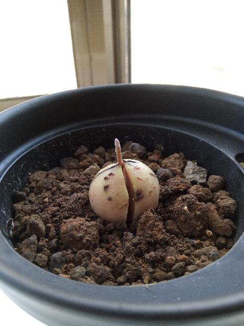 アボカドの育て方について。 8月に水耕栽培→9月に根が生える→10月に土植えしてやっと芽が1cmでましたが、薄っすら白くてカビなんじゃないかと不安です。初めてのアボカドなので判断できません。この画像のアボカドは正常ですか?