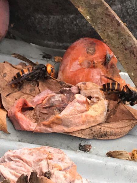 スズメバチってカキ食べるんですね。 一匹が羽が切れて飛べないのですが、もう一匹がずっと一緒にいます。