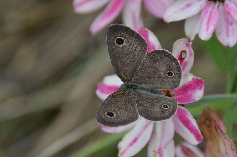 蝶の名前が解りません。 今日、農林センターで撮りました。 詳しい方お名前教えてください。 宜しくお願いします。