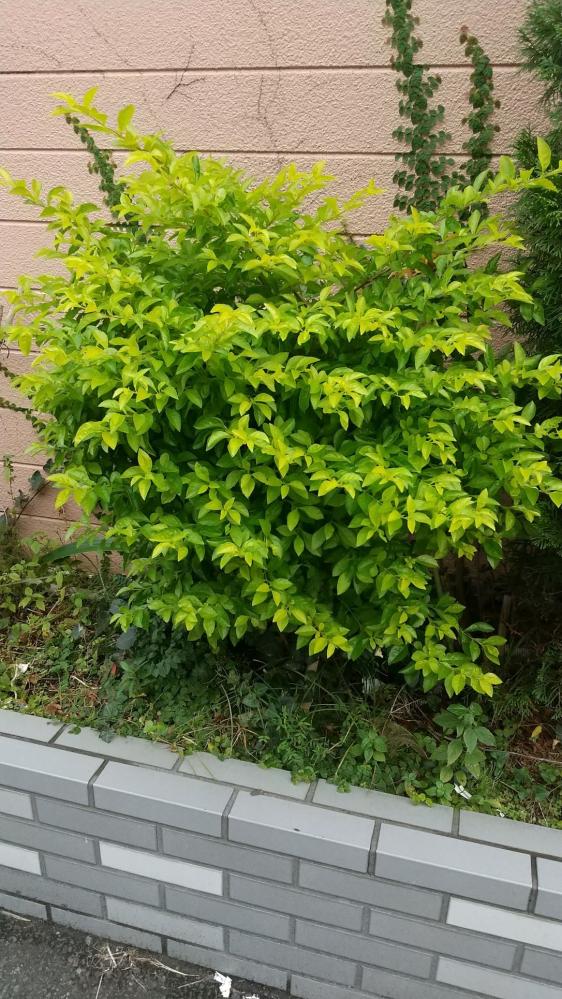 この低木、何という植物か分かる方、教えてください。 黄緑のきれいな葉っぱで、高さは1m弱、歩道の脇に植えてありました。