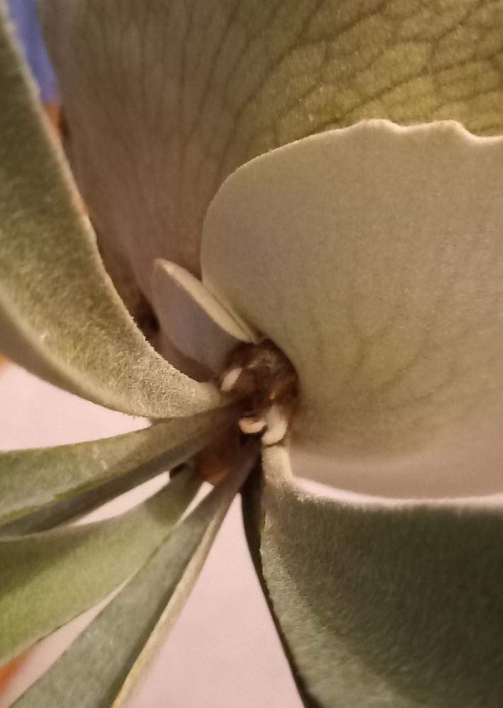 ビカクシダ ビーチー 右の貯水葉が成長途中で左まで大きくなり始めました。 その上胞子葉っぽいのが3個も出てきたんですがそんなもんなんでしょうか?