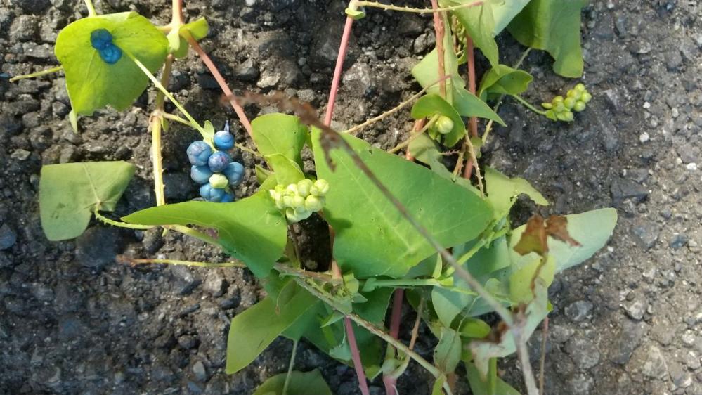 恐れ入ります。この植物の名前を教えて下さい。小さなトゲが沢山あり、触れると痛いです。熟すと青い実がつきます