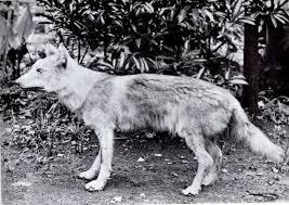 ニホンオオカミのように、行政による野生動物の駆除政策の結果(ないしは、それが一因となり)野生動物が絶滅した例は、海外にもありますか?