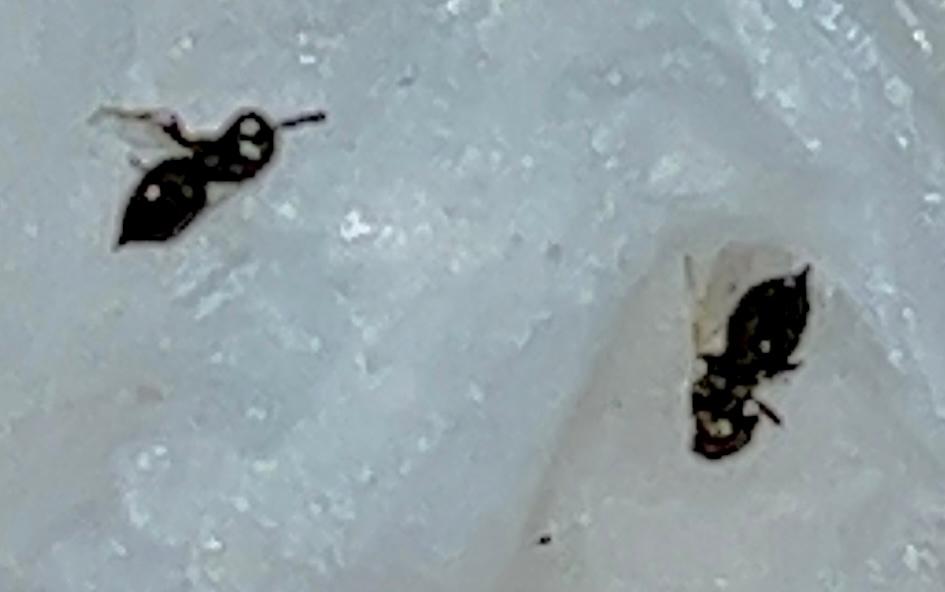 この写真の虫の名前を教えてください。家の中を飛んでいましたが、ショウジョウバエとは違うようです。