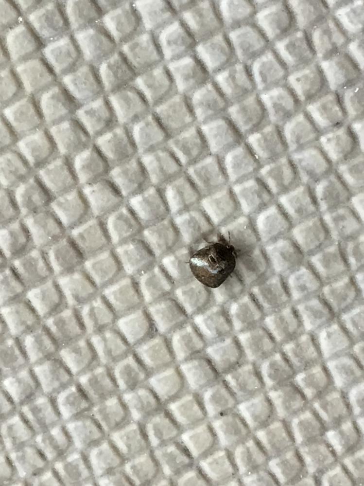 名前を教えてください。 この虫はなんですか? マンション入り口に大量発生しています。 エントランス内にも少しいます。