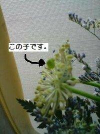 ブルーレースフラワーの種?? 自宅で切花として楽しんでいたブルーレースフラワーですが、花びらが落ちてしまった後も形が可愛いので吸水フォームに挿したままでいたら、種と言うか芽のようなものが出てきました。 これって種なんですかね…?? これを植えたら今度は鉢で楽しめるのでしょうか? わかる方がいらっしゃいましたら正しい方法等、是非詳しく教えていただきたいです! よろしくお願いいたします!!