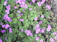 クローバーについて教えてください。ピンクの花を咲かせたクローバーを見付けました。 花冠を作成する時に使う、クローバーと、どちらが本物のクローバーなんでしょうか。