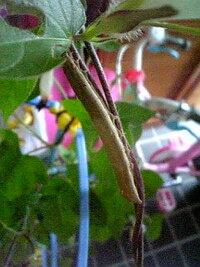 蝶々の幼虫のエサについて。  子供のアサガオに幼虫が付いていました。 子供がアサガオを食べられたくないそうなので…成虫まで容器で育ててみ ようと思っています。 多分、揚羽蝶かな?と思っているのですが…。 ...