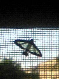 蛾  昨日晩から変な蛾がいて怖いです(T_T)  サイズはとまってる状態で 横1.5~2cm 縦1cm位  色は白で黒(焦茶?)の縁取りがあります。   気持ち悪いの が  お尻のところに 全長5mm玉の毛虫みたぃな茶色のふさふさ...