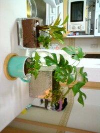 土とハイドロカルチャーの相性は?  まったく興味がなかった観葉植物に、最近ハマってます!置くだけで、部屋の雰囲気が変わって…癒されてます (^^)  初心者なので、まったくわからないのですが、いま家にあるのは、  『姫モンステラ』と『くさり何とか…?』写真右の鉢  『アイビー』コーヒーカップ  『クロトン』と『シルクジャスミン』ガラス   なんですが、 姫モンステラの鉢には、軽く土を落として...