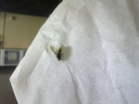 この虫はなんですか?ハエでしょうか? 家に何匹もいます(;_;)