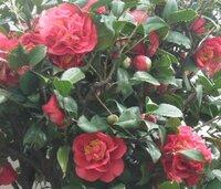 バラのような椿? バラのようなさざんかでしょうか? 大きな花。 これは椿でしょうか? それともさざんかなのでしょうか?