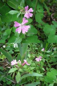 この花の名前を教えてください。 一年草のようです。毎年こぼれ種で咲いています。