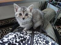 子猫が甘えん坊過ぎて困っています。(´・ω・`) ずっとひざの上にいます。(´・ω・`) どかすとミーミー泣きます(´・ω・`) 少しは独立してほしいのですが子猫ってみんなこんなに甘えん坊なんですか?