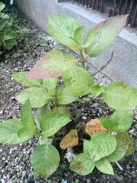紫陽花の葉が写真のように茶色くなって元気がありません。病気なのでしょうか? 昨年の秋に実家から貰ってきて、今の場所に植えました。午前中は日当たりが良いのですが、午後は完全に日陰になります。  また、...