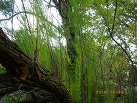 タブノキとマテバシイの見分け方を教えてください。 散歩道にタブもマテバシイも非常に多いのですが、どの木がどっちなのかいつも迷っています。 大体は当たるのですが、間違えることもしばしばです。 (木の名...