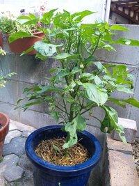 ピーマンの葉っぱが生い茂ってますが、このままほかっておいていいのでしょうか?葉っぱをちぎったりしなくていいのでしょうか?